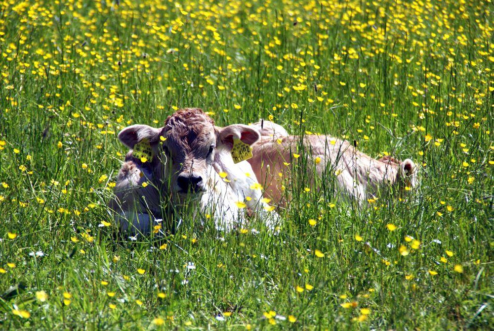 Jungrind im Gras