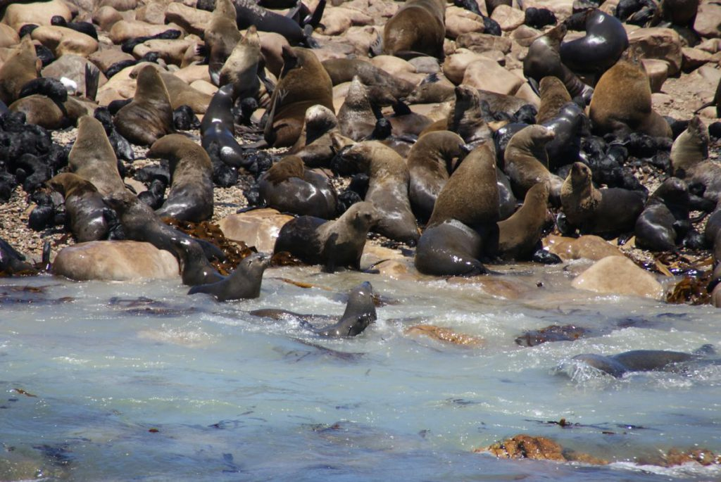 Seelöwen Südafrika