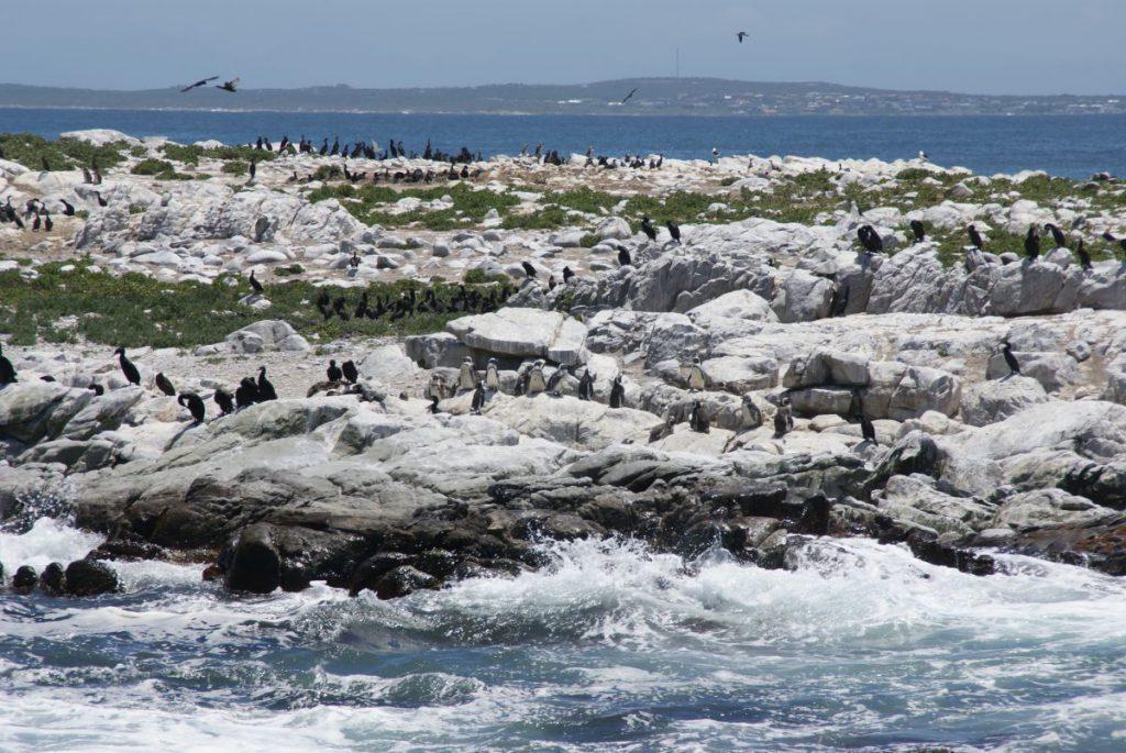 Pinguine Südafrika Gansbaai